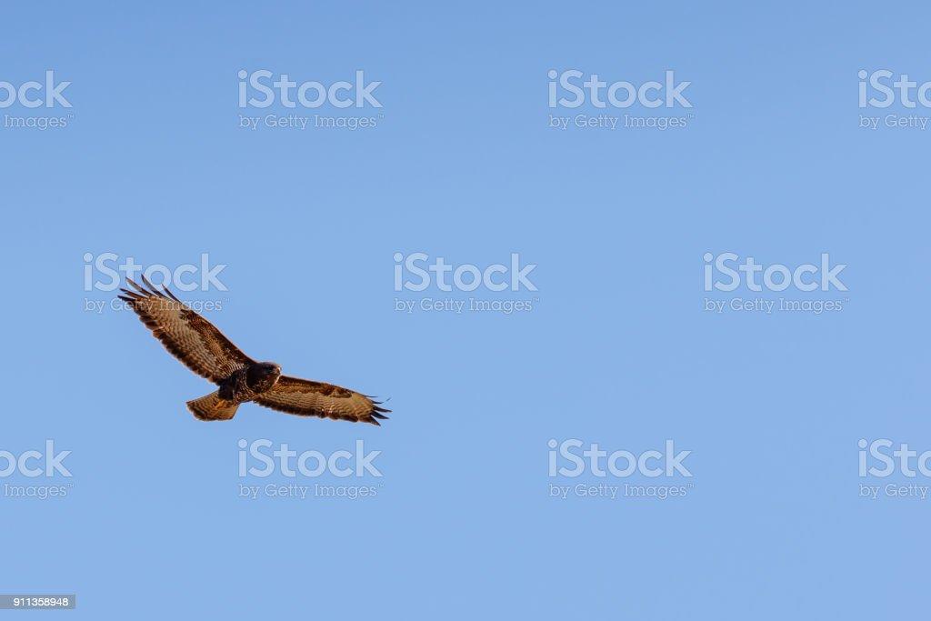 Buizerd vliegen in de lucht foto