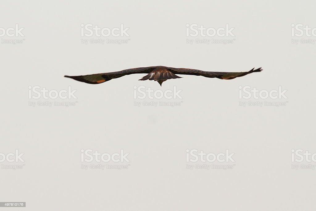 common buzzard hunting stock photo