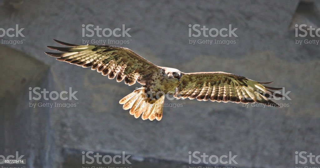 Common buzzard in flight with wings spread, backlighted by bright sunlight stock photo