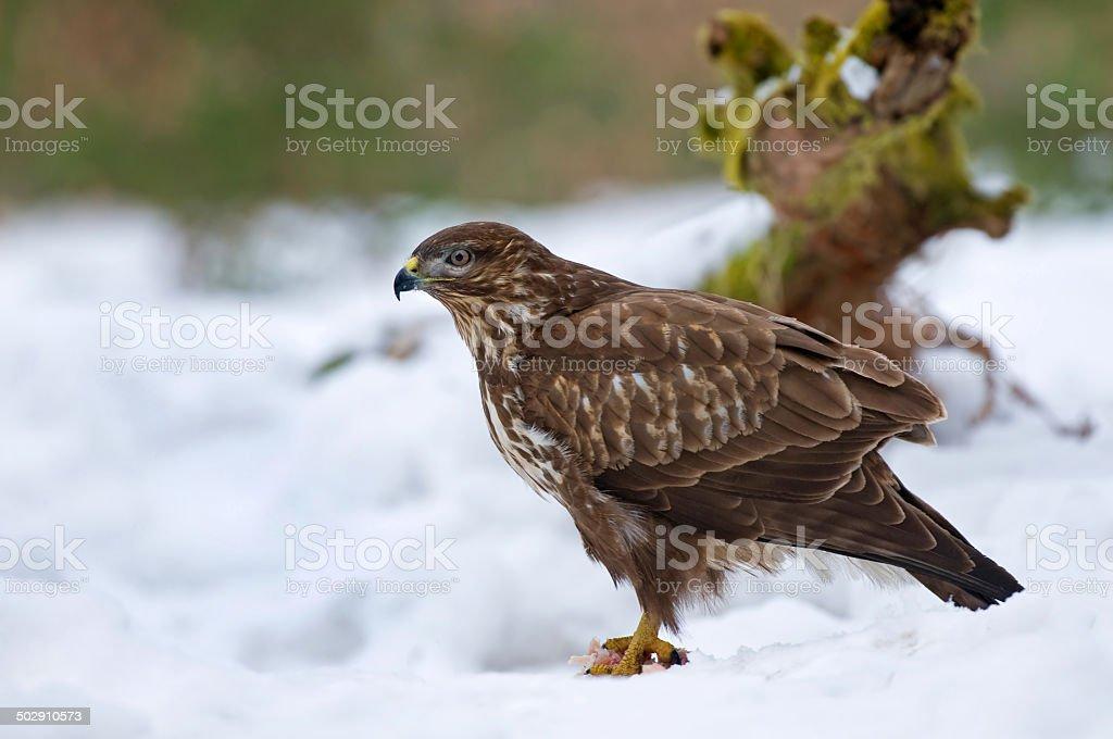 Common buzzard in snow foto