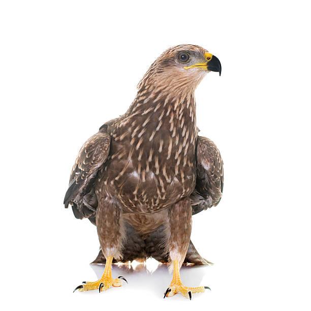 Common buzzard in studio foto