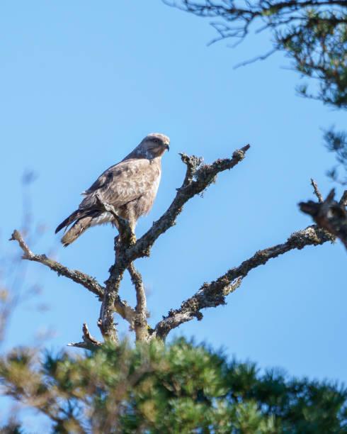 Common Buzzard stock photo