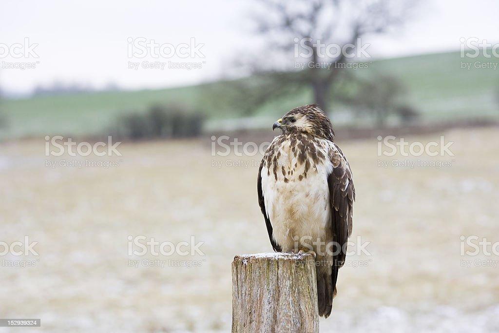Eurasian crane Lizenzfreies stock-foto
