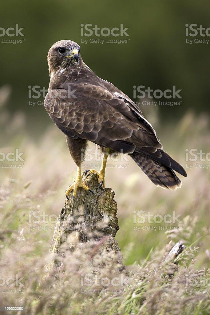 Common buzzard (Buteo) foto