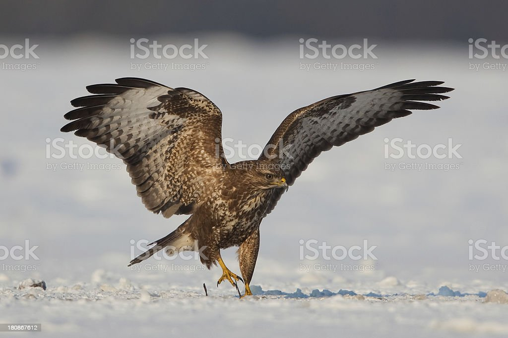 Common Buzzard royalty-free stock photo