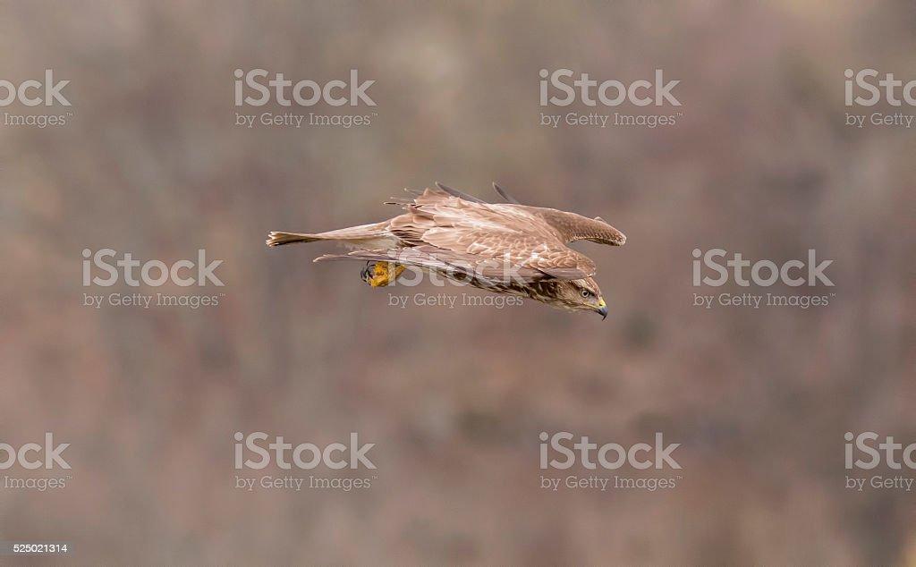 Common Buzzard (Buteo buteo) foto