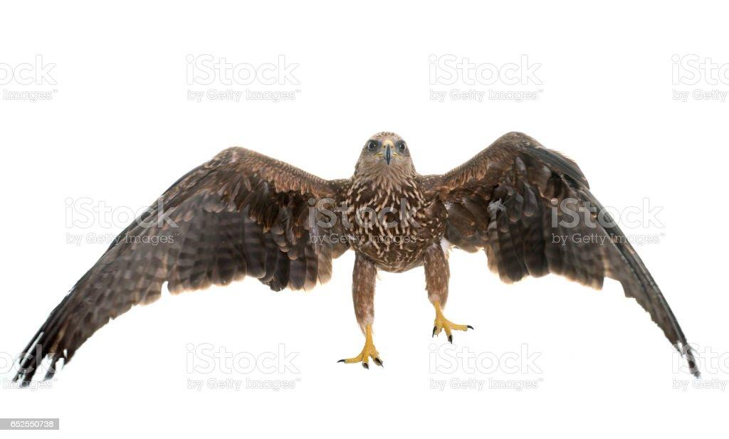 Common buzzard foto