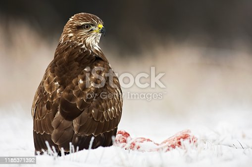Common buzzard, buteo buteo, seated on the ground covered with snow in wintertime looking around. Predator with yellow beak listening attentively on a plain from low perspective with copy space.