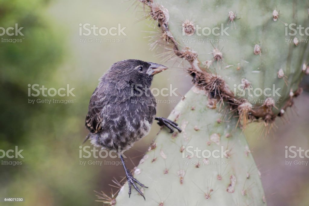 Common cactus finch (Geospiza scandens), Santa Cruz, Galapagos Islands stock photo