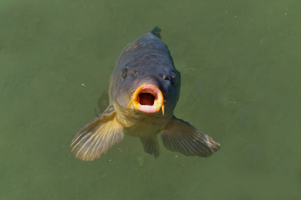 common carp breaking the surface waiting to be fed - introduced species stock pictures, royalty-free photos & images