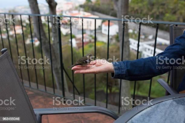 Wspólna Chaffinch Ptak Jedzenia Chleba Z Ręki Kobiety Madera Funchal - zdjęcia stockowe i więcej obrazów Balkon