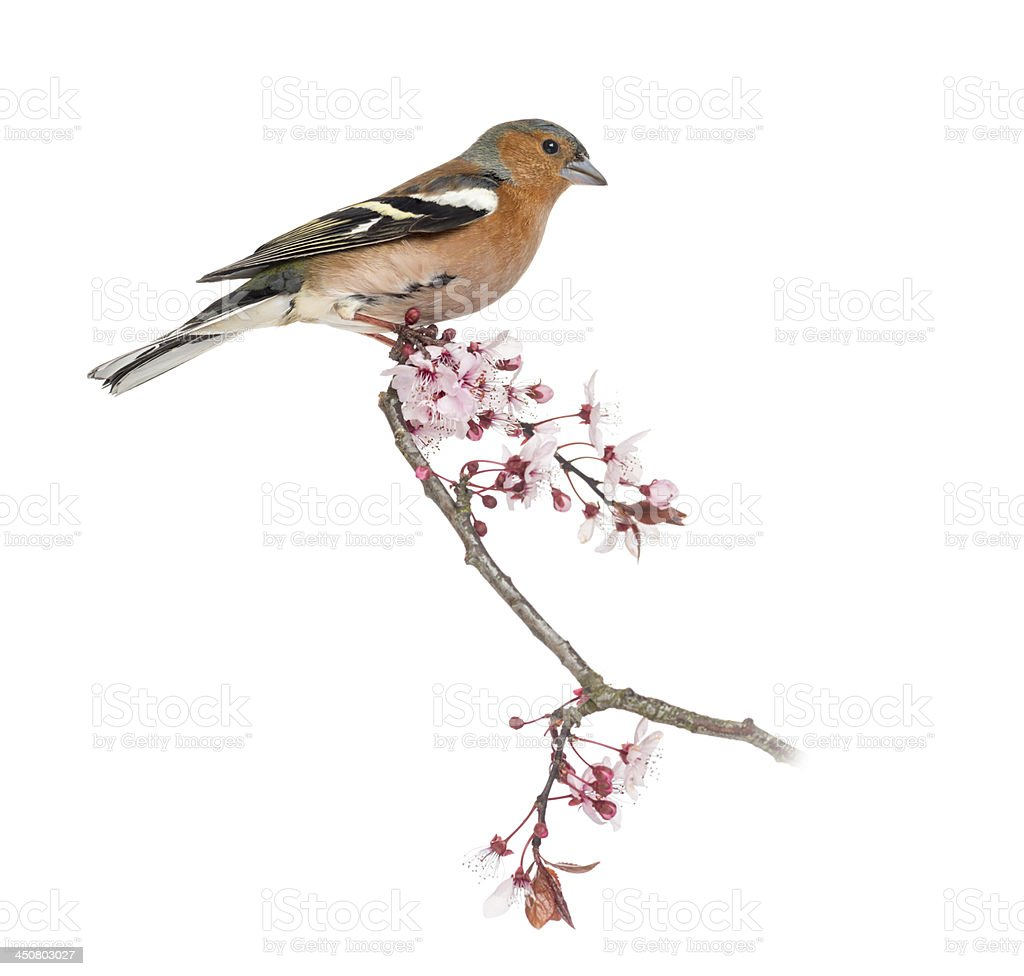 Common Chaffinch perched on branch, Fringilla coelebs stock photo