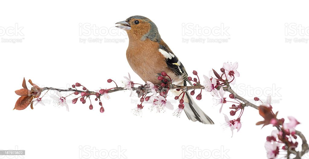 Common Chaffinch perched on branch, singing, Fringilla coelebs stock photo