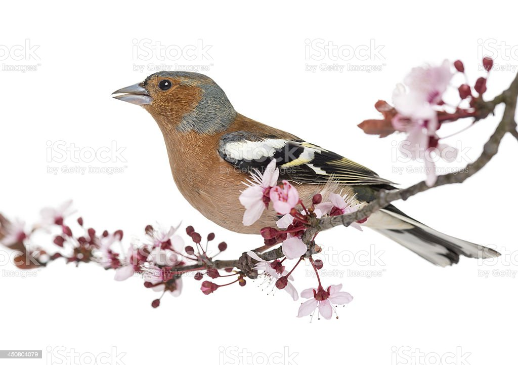Common Chaffinch perched on branch, singing, Fringilla coelebs royalty-free stock photo