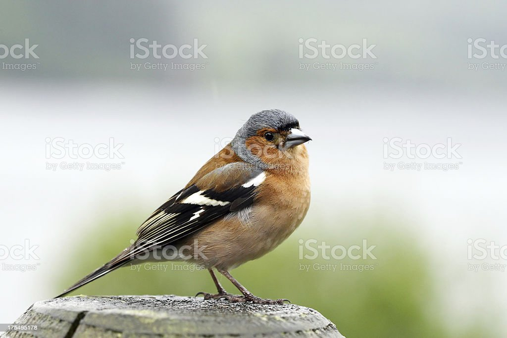 Common Chaffinch stock photo