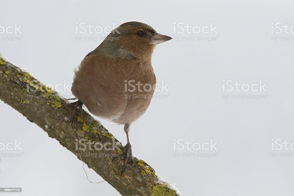common chaffinch royalty-free stock photo