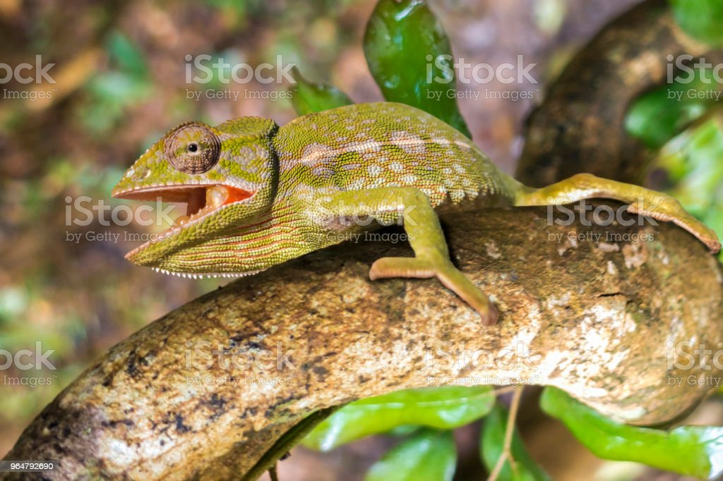Common Chameleon (Chamaeleo chamaeleon), The common chameleon Madagascar royalty-free stock photo