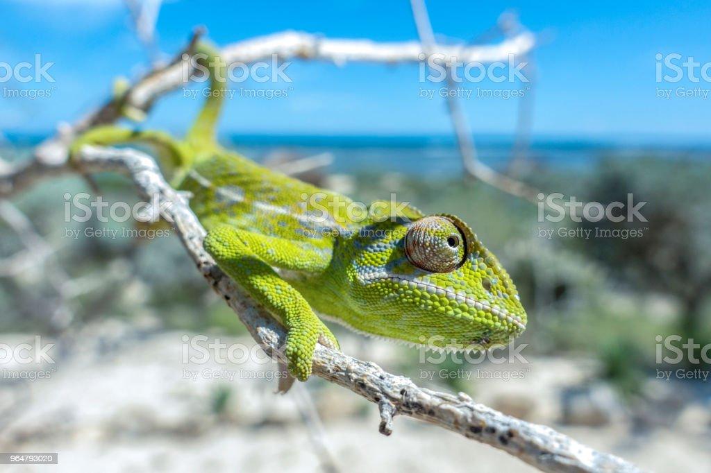 Common Chameleon (Chamaeleo chamaeleon), The common chameleon Madagascar royalty-free stock photo