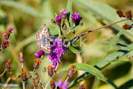 A Common Checkered Skipper butterfly with wings open nectaring on Purple Ironweed flowers.