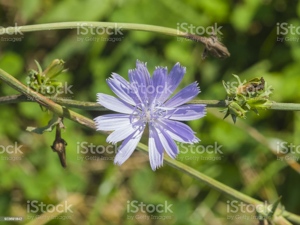 Common Chicory, Cichorium intybus, flower on stem with blurred background macro, selective focus, shallow DOF stock photo