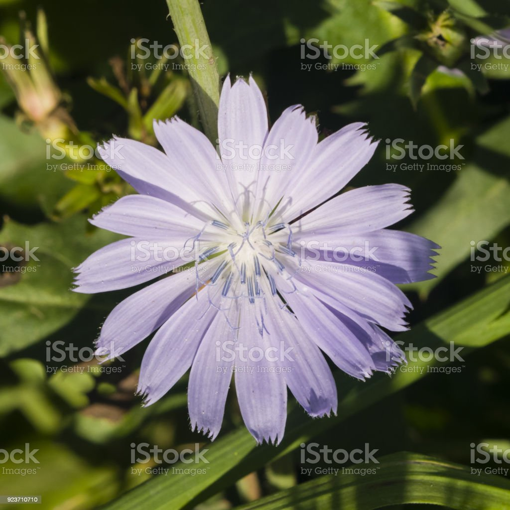Common Chicory, Cichorium intybus, flower with blurred background macro, selective focus, shallow DOF stock photo