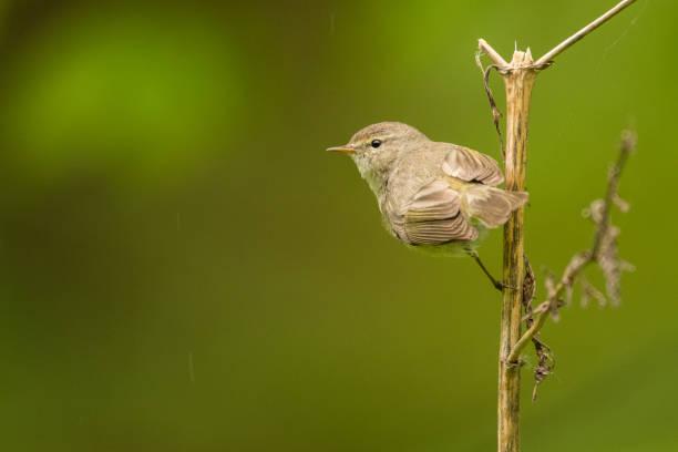 Common chiffchaff (Phylloscopus collybita). Ein gemeinsamer singender Vogel auf grünem Hintergrund. Polen – Foto