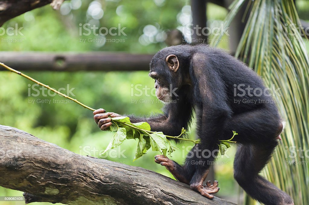 Common Chimpanzee stock photo