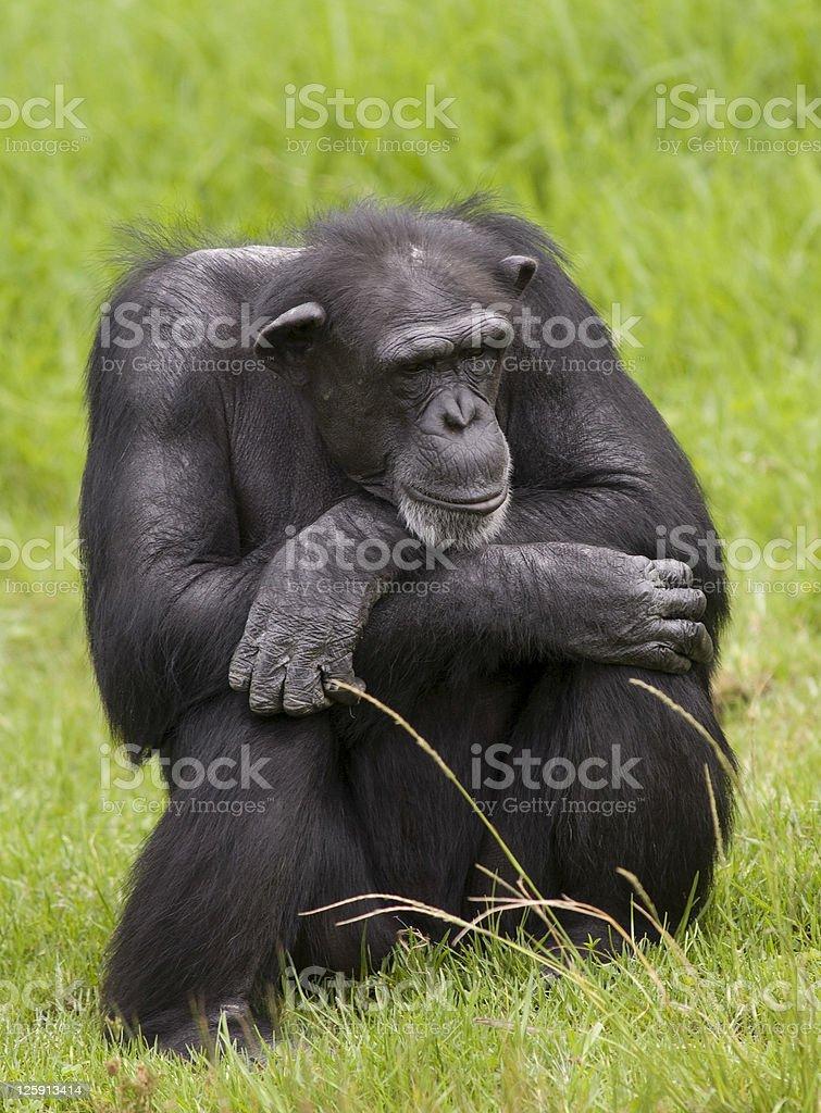 common Chimpanzees stock photo
