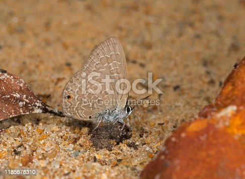 Common Ciliate Blue, Anthene emolus, Butterfly, Meghalaya, India