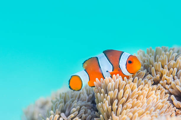 Common Clownfish 白化したイソギンチャクの家の中で。Common Clownfish in Miyakojima-island,Okinawa,Japan anemonefish stock pictures, royalty-free photos & images