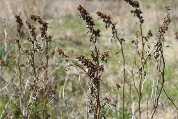Common cocklebur seeds – zdjęcie