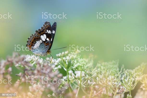 Common commander butterfly feeding on weeds picture id951824712?b=1&k=6&m=951824712&s=612x612&h=ihzm7m zmbbrvoxewanzkjsb6nqw7khwzpcjtvauo5i=
