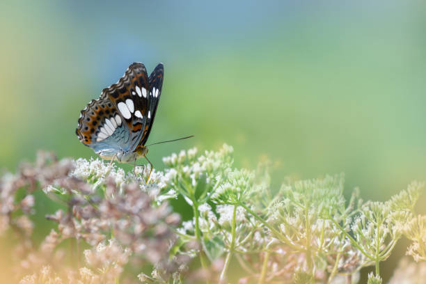 Common commander butterfly feeding on weeds picture id951824712?b=1&k=6&m=951824712&s=612x612&w=0&h=mqb5gbamzwuxhdraigdrlkx8elamhzqswbt75sgkyvg=