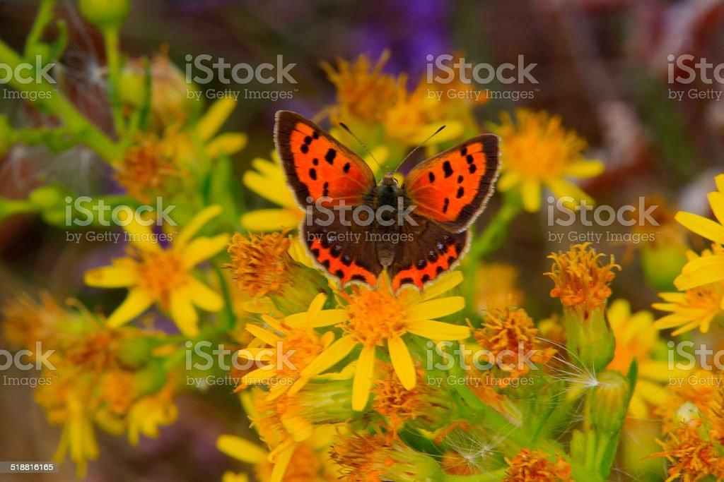 Papillon Cuivré commun (Lycaena phlaeas) stock photo