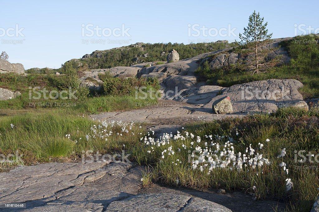 Common cottongrass (Eriophorum angustifolium) along the Preikest royalty-free stock photo