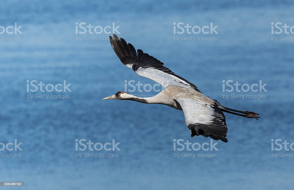 Common crane flying above a lake stock photo