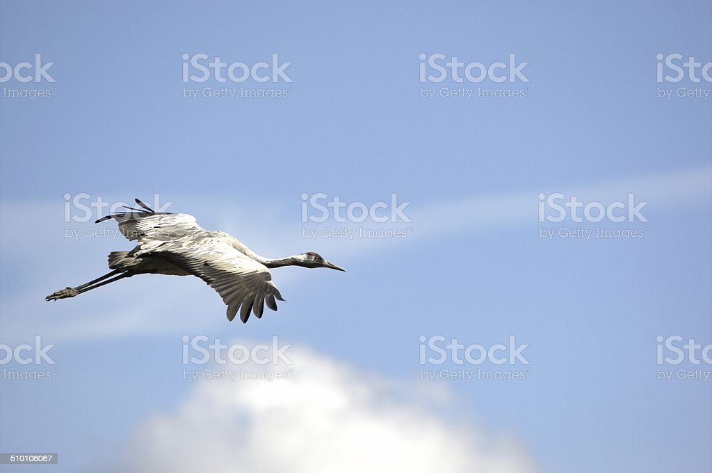 Common crane flying in the air stock photo