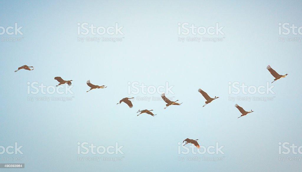 Common crane [Grus grus] stock photo