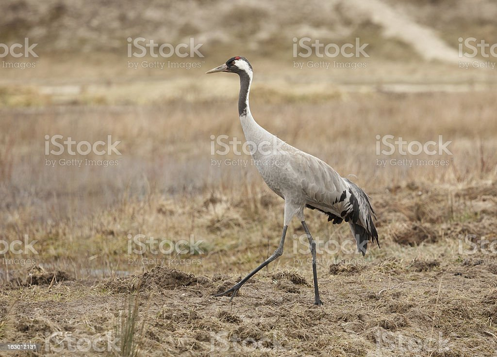 Common Crane in France royalty-free stock photo
