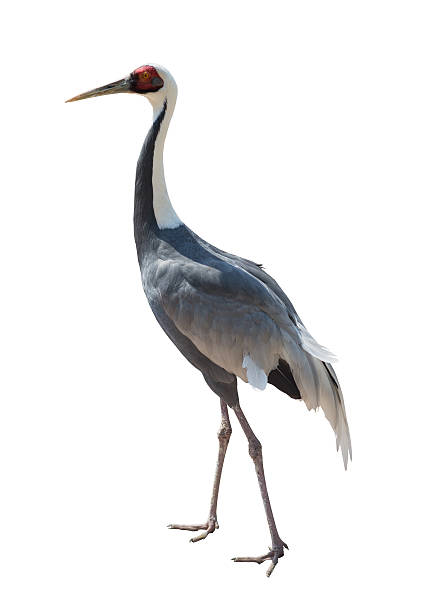 common crane - crane bird stock pictures, royalty-free photos & images