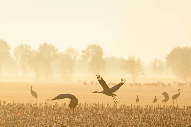 Common Cranes or Eurasion Cranes resting and feeding in a field during autumn migration stock photo