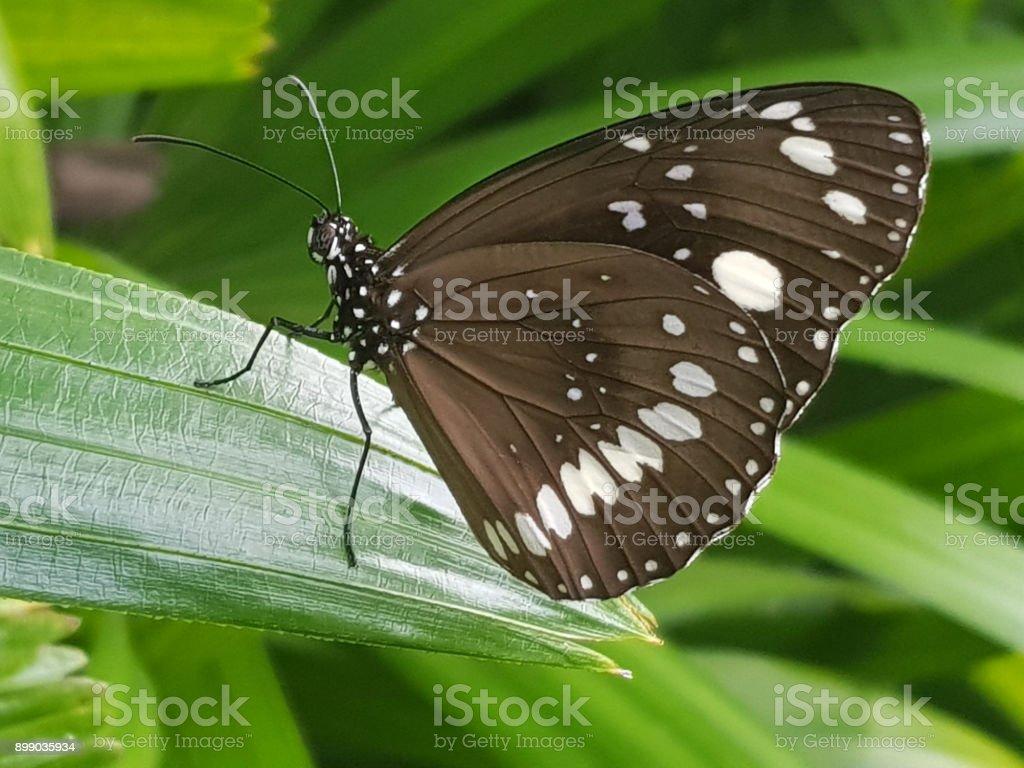 Common Crow Butterfly, Euploea Core, Australia stock photo