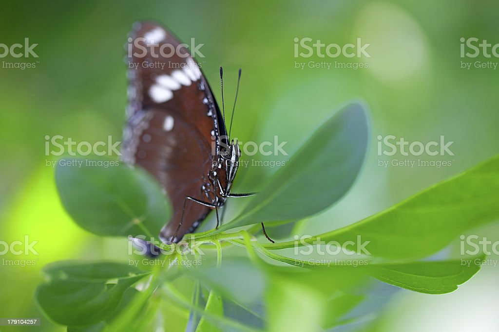 Common Crow Butterfly royalty-free stock photo