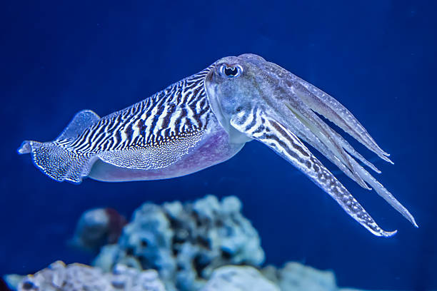 Common Cuttlefish The Common (European) Cuttlefish (Sepia officinalis) is generally found in the eastern North Atlantic, the English Channel and the Mediterranean Sea. It is a cephalopod, related to squid and octopus. cuttlefish stock pictures, royalty-free photos & images