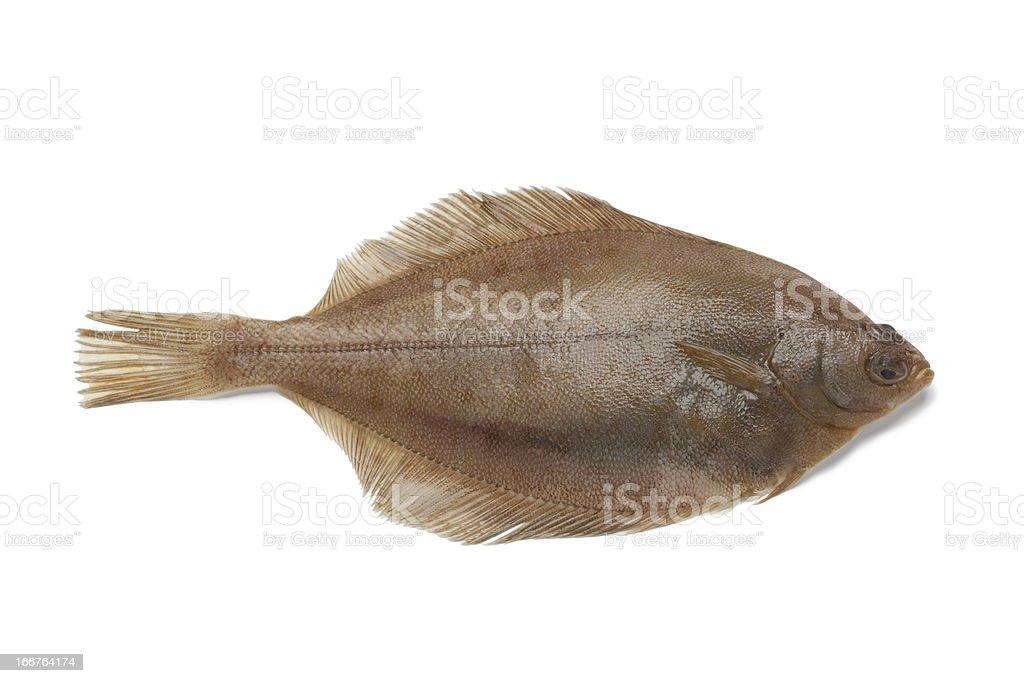 Gemeinsame Anwendung des dab-Fisch - Lizenzfrei Einzelner Gegenstand Stock-Foto