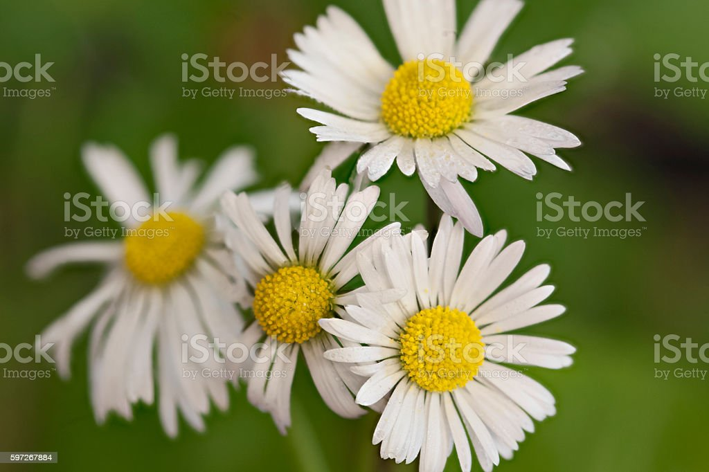 Common Daisies royalty-free stock photo