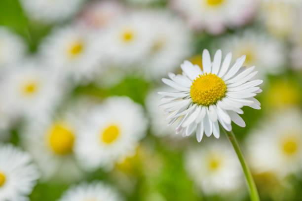 gemeenschappelijke daisy bloem in tuin - madeliefje stockfoto's en -beelden