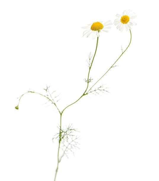 common daisy, isolated on white - madeliefje stockfoto's en -beelden