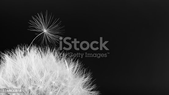 istock Common dandelion blowball. Artistic detail of soft fluff. Taraxacum officinale 1148830518
