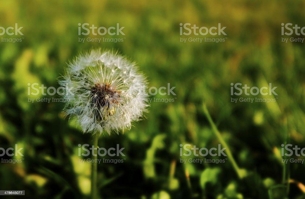 Common Dandelion stock photo